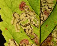Ectoedemia rubivora - Bramenblaasmijnmot