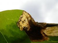 Gracillaria syringella - Seringensteltmot