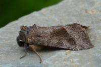 Hydraecia petasitis - Ekeren ~ De Oude Landen (Antwerpen) 14-08-2021 ©Steve Wullaert