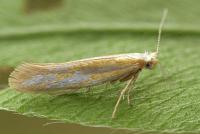 Argyresthia aurulentella - Gestreepte pedaalmot