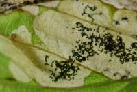 Slanke purpermot - Paracrania chrysolepidella