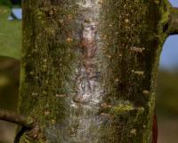Zimmermannia atrifrontella - Witte bastmineermot