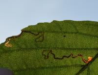 Stigmella glutinosae - Witkraagelzenmineermot