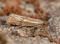 Thisanotia chrysonuchella (duingrasmot) - Lommel ~ Balimheide (Limburg) 15-05-2021 ©Steve Wullaert