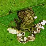 Stigmella tiliae - Lindemineermot