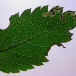 Stigmella nylandriella - Gewone lijsterbesmineermot