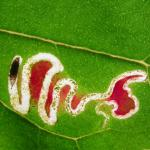 Chrysoesthia drurella - Gloriemot