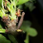 Coleophora hemerobiella - Fruitboomkokermot