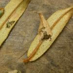Spilonota ocellana - Rode knopbladroller
