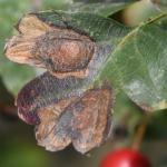 Leucoptera malifoliella - Appelsneeuwmot