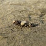 Teleiopsis rosalbella - Vale gordelpalpmot