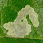 Cameraria gaultheriella - Salalmineermot