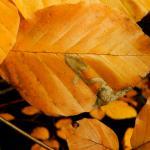 Stigmella hemargyrella - Zilverbandbeukenmineermot