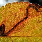 Stigmella prunetorum - Spiraalmineermot
