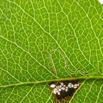 Stigmella minusculella - Minuscule perenmineermot