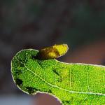 Heliozela resplendella - Elzenzilvervlekmot