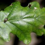 Coleophora kuehnella - Blaasjespistoolkokermot
