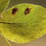 Leucoptera laburnella - Goudenregenmot