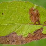 Atralata albofascialis - Donderkruidmot
