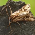 Actinotia polyodon - Aywaille ~ Heid des Gattes ~ Carrière de la Falize (Luik) 05-06-2021 ©Steve Wullaert