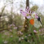 Anthocharis cardamines (oranjetipje) - Beauraing ~ Grand Quarti (Namen) 01-05-2021 ©Wouter Mertens
