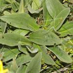 Arnica montana (valkruid) - KU Leuven Plantengids ©Paul Busselen