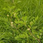 Astragalus glycyphyllos (Hokjespeul)