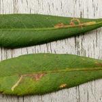Bucculatrix cidarella - Elzenooglapmot