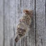 Coleophora pennella - Haartjeskokermot