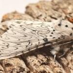 Cerura erminea - De Panne ~ Krakeelduinen (West-Vlaanderen) 03-07-2021 ©Steve Wullaert