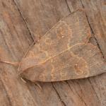 Cirrhia ocellaris - Genk ~ De Maten (Limburg) 26-09-2021 ©Steve Wullaert