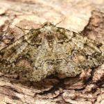 Cleorodes lichenaria - De Panne ~ Krakeelduinen (West-Vlaanderen) 03-07-2021 ©Steve Wullaert