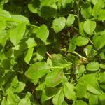 Coleophora vacciniella - Grote bosbeskokermot