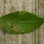 Coleophora limosipennella - Lichte Iepkokermot