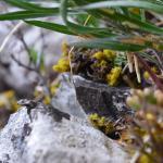 Coleophora ramosella - Gestreepte guldenroedekokermot
