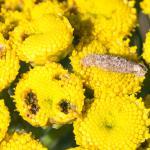 Coleophora tanaceti - Wormkruidkokermot