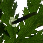 Coleophora trochilella - Gestreepte bijvoetkokermot