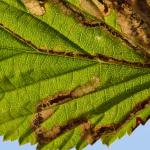 Stigmella filipendulae - Spireamineermot