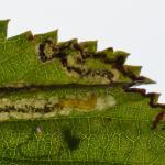 Stigmella filipendulae - Spireamineermot