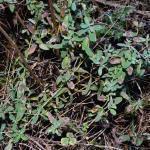 Leucoptera lustratella - Hertshooisneeuwmot