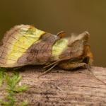 Diachrysia chrysitis - Vance ~ Marais de Vance (Luxemburg) - 29-08-2020 ©Steve Wullaert