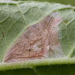 Dialectica imperialella - Smeerwortelsteltmot