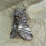 Drymonia ruficornis (maantandvlinder) - Beauraing ~ Grand Quarti (Namen) 01-05-2021 ©Damien Gailly