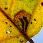 Ectoedemia hannoverella Populierenbladsteelmineermot