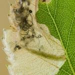 Eriocrania semipurpurella - Variabele purpermot
