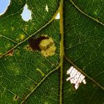 Ectoedemia albifasciella - Vance ~ Marais de Vance (Luxemburg) - 29-08-2020 ©Steve Wullaert