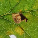 Ectoedemia albifasciella - Gewone eikenblaasmijnmot