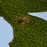 Ectoedemia atricollis - Marche-en-Famenne ~ Les Brulés (Namen) - 20-09-2020 ©Steve Wullaert