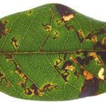 Ectoedemia heringella - Steeneikmineermot