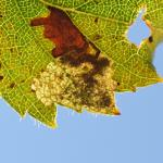 Ectoedemia minimella - Vance ~ Marais de Vance (Luxemburg) - 29-08-2020 ©Steve Wullaert
